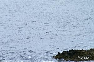 Robbe an der Küste am Smoo Cave