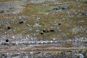 Moschusochsenherde im Dovrefjell Nationalpark