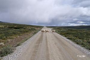 querende Schafe