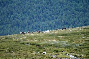 Rentiere im Jotunheimen-Gebirge