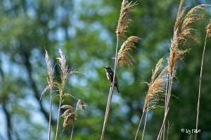 Spreewaldvogel