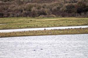 Enten im Naturreservat bei Oye Plage
